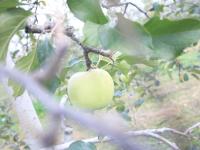 apple picking アイコン画像'