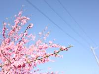 春色に染まる町 アイコン画像
